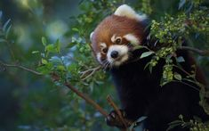 Download wallpapers Red panda, little bear, forest, cute animals, wildlife, Little panda