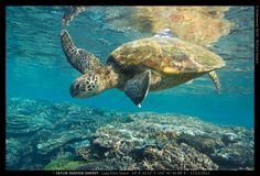 6 of the world's 7 species of marine turtles calls the Great Barrier Reef home.