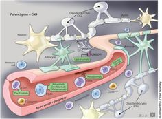 Figure3. Monoclonal antibody therapeutic targets in MS. This is a schematic of an intracranial blood vessel penetrating the CNS parenchyma. The blood vessel, or peripheral compartment, contains the most of the targets for the currently available immunomodulatory monoclonal antibody therapies in MS. Natalizumab blocks VLA-4 (or α4β1 integrin) receptors on B or T lymphocytes, preventing them from interacting with VCAM and crossing the BBB into the CNS. Anti-CD20 antibodies (rituximab…