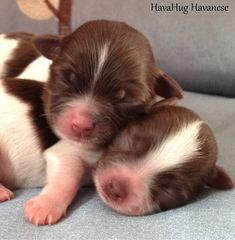 The cutest havanese puppies. Cute Baby Dogs, Cute Babies, Best Dog Breeds, Best Dogs, Havanese Puppies For Sale, Dogs Of The World, Poodle, Cuddling, Photo Galleries