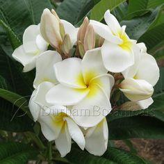 Kanjanaporn White - Durham Botanicals