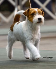 Wire Haired Jack Russell Terrier And the russell terrier,