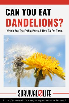 Can you eat dandelions? Contrary to popular belief, dandelions are more than just pesky weeds. These flowers have a unique blend of spicy, earthy, sweet, and bitter flavors, which you can enjoy as is or mix with other foods and drinks. #dandelions #eatingdandelions #edibleplant #survivalfood #survival #preparedness #survivallife Survival Life, Survival Food, Wilderness Survival, Eating Dandelions, Edible Plants, Shtf, Zombie Apocalypse, Bitter, Kitchen Gadgets