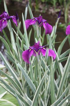 Striped Japanese Iris for sale buy Iris ensata 'Variegata'