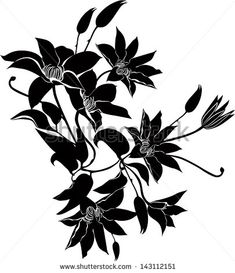 Image result for clematis botanical black and white