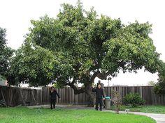 mature avocado tree