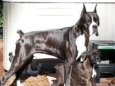 Gorgeous reverse brindle boxer. I've had a white boxer and now a fawn one, next is reverse brindle.
