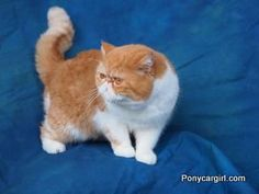 Exotic shorthair Chester. Flat faced cat. Tabby.