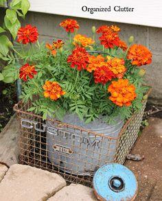 Beautiful Flowers Displayed in JUNK www.organizedclutter.net ~ orange marigolds in galvanized bucket Flower Containers, Container Plants, Container Gardening, Plant Containers, Marigolds In Garden, Garden Planters, Galvanized Planters, Planting Flowers, Metal Planters