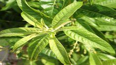 Piatti tipici siciliani vi presenta un'alternativa per usare le foglie della vostra pianta di citronella, non serve solo per allontanare le zanzare
