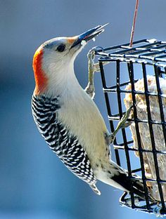 red bellied woodpeckers were at the feeders today along with several downy hairy
