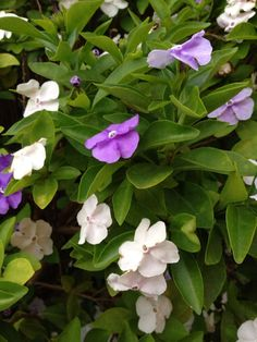 Yesterday Today And Tomorrow (brunfelsia pauciflora floribunda): Your lovely plant may be an evergreen shrub identified by its purple, bluish-lavender to white flowers that appear simultaneously depending on the maturity of the blossoms. A tropical plant, it flowers from spring-summer with clusters of purple, tubular flower that open to flat blossoms. Oval, dark green leaves; can grow to 10 ft. but can be kept shorter if desired by pruning. Needs partial shade, regular water, and note that…