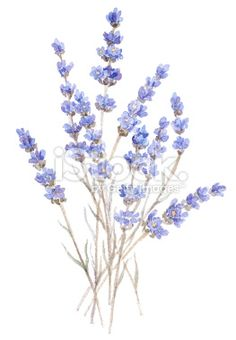 Lavender (Watercolor) Royalty Free Stock Photo