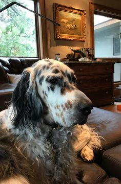 English Setter Puppies, Doggies, Dogs And Puppies, Animals And Pets, Cute Animals, Puppy Love, My Best Friend, Dog Cat, Mindfulness