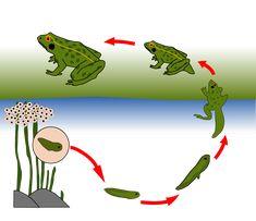 Un petit document pour observer et comprendre le cycle de la grenouille.