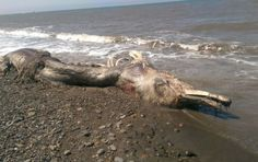 This odd, giant sea creature washed ashore this July on the shoreline near Shakhtersk Airport on Sakhalin Island. The bloodied carcass was ripped apart with its bones showing and seemed quite prehistoric. Mysterious Sea Creatures, Weird Creatures, Legendary Monsters, Furry Tails, Big Sea, Delphine, Sea Monsters, Strand, Mystery