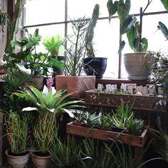 ficus robusta kamerplant chicplants flowers plants. Black Bedroom Furniture Sets. Home Design Ideas