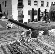 Victory Garden at Town House. USA Photographer: Walter Sanders Larger image here. Old ideas now being used in big cities where lack of space creates new ways of growing food. Landscape Design, Garden Design, Urban Agriculture, Victory Garden, Vintage Farm, Garden Photos, Farm Gardens, Life Goes On, Life Magazine