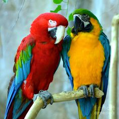 Amazon Parrots by Dani Stites - Amazon Parrots Photograph - Amazon ...