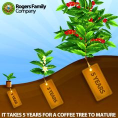 """DID YOU KNOW? - It takes 5 years for a coffee tree to mature.    The journey of a coffee bean from seed to cup is a long adventurous one!  It begins high in the mountains of tropical countries like Mexico, Costa Rica, Ethiopia, Sumatra, or even America where coffee grows in Hawaii.  Read more about """"How a coffee tree seed becomes liquid happiness""""  http://www.rogersfamilyco.com/index.php/coffee-tree-seed-becomes-liquid-happiness/"""