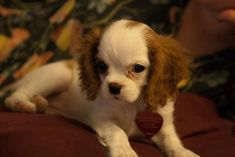 Cavalier King Charles Spaniel Puppies Are The Cutest Puppies To Ever Puppy Spaniel Breeds, Spaniel Puppies, Cocker Spaniel, Cavalier King Charles Dog, King Charles Spaniel, Shih Tzu, Cute Puppies, Dogs And Puppies, Dog Competitions