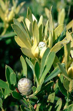 Leucadendron Meridianum   female         Limestone Conebush
