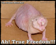 The Naked Mole Rat - Native to nude beachers and colonies of America www.waltfrasier.com