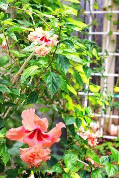 My Garden Salmon Hibiscus