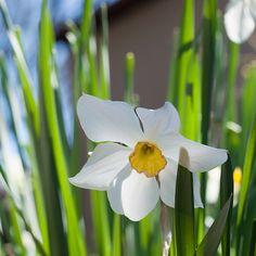 | Backyard Study – Daffodils |