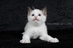 2015: Heimdall A Zwollywood Cat. 7 Weeks old. Ragdoll kitten, chocolate bicolour. Dark world litter.