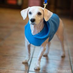 Bolo is a 5 yr old handsome poodle mix saved from euthanasia at a crowded NY shelter.  Bolo is potty trained, well mannered, likes to sleep in bed with you, cuddle, walks very well on a leash, is friendly with all the dogs in foster care, mindful...