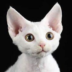 DEVON REX - HAPPYMIAU Hodowla kotów DEVON REX, koty rasowe, kocięta, kociaki, HAPPYMIAU