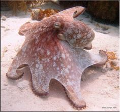 Octopus #Bonaire Bonaire Beach, Bonaire, Netherlands Antilles - hubby saw one