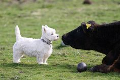 "Westie to Cow: ""Hey buddy you may be bigger but I'm a lot faster."""