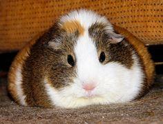 Guinea Pigs Fat, grumpy Balbinka