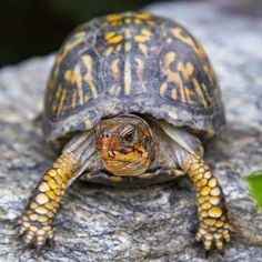 Box Turtles -beneficial insects and animals to your backyard/garden, gardening, landscaping