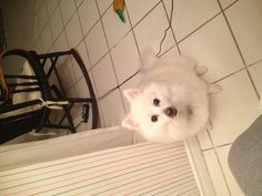 When are we going to bed? Says Cody the Miniature American Eskimo!
