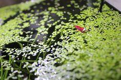 Wasserlinsen - Lemna minor - Schwimmpflanze - Entengrütze -