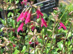 Salvia in fiore