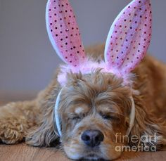 Items similar to Cocker Spaniel Easter Bunny Photo or Cards on Etsy Cocker Spaniel Breeds, Black Cocker Spaniel, American Cocker Spaniel, I Love Dogs, Cute Dogs, Dogs And Puppies, Doggies, Animal Photography, Fur Babies