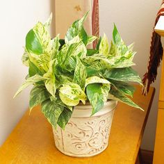 24 of the Easiest Houseplants You Can Grow. Did you know growing plants indoors helps improve indoor air quality, reduce stress and increase well-being? The beneficial microbes in the potting soil work with the plants to absorb the toxic chemicals (VOCs) in our indoor air, especially important in rooms with electrical appliances like computers. Great reasons to bring some green indoors! | The Micro Gardener