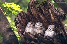 How cute? 3 owls chilling