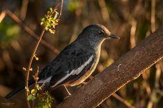 Oriental Magpie-Robin by Mathew Joseph on 500px