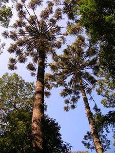 araucarias em São Paulo trees Brazil árvores de São Paulo - foto de Ricardo Cardim - direitos reservados Old Ones, Fungi, Trees To Plant, Chile, Brazil, Earth, Heaven, Flowers, Fruit