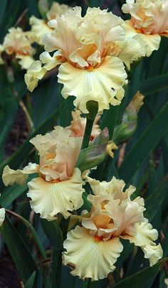 Tall Bearded Iris called- Comes The Dawn/Flores 🖤 Beautiful Flowers, Amazing Flowers, Beautiful Gardens, Iris Garden, Iris, Bearded Iris, Plants, Planting Flowers, Iris Flowers