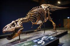 Naturalis Tyrannosaurus rex Trix in de tentoonstelling T. rex in Town. Tyrannosaurus Rex Skeleton, Dinosaur Skeleton, Dinosaur Park, Dinosaur Fossils, Dinosaur Bones, Salzburg, T Rex Jurassic Park, Ancient Fish, Dojo