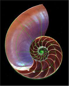 Nautilus with Golden Ratio Diagram