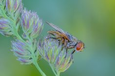 Crassipennis Ectophasia ( Fabricius , 1794)