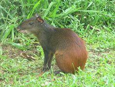 Les Animaux sur l'île Royale, Guyane