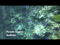Video Purple Queen Anthias | Pata Negra Dive Center Bohol Philippines, Diving, Queen, Island, Purple, Beach, Scuba Diving, The Beach, Islands